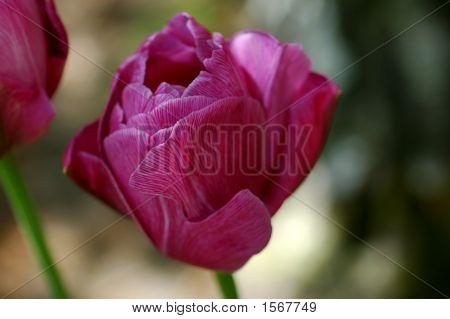 Abigail Tulip