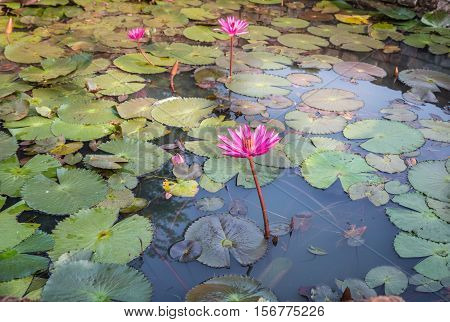 White lotus flower (lotus pointed white) is a form of lotus which blooms in water with petals which are long tapered and pointed.