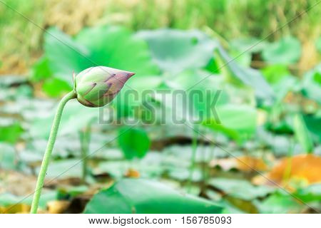 Yong pink lotus color flowers on the pond selective focus