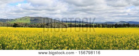 Beautiful views of Canola fields at Wattamondara. Focus to foreground only