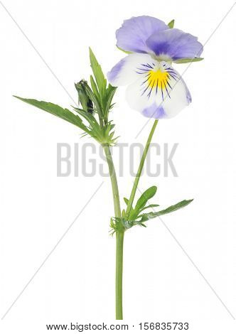 one pansy flower isolated on white background