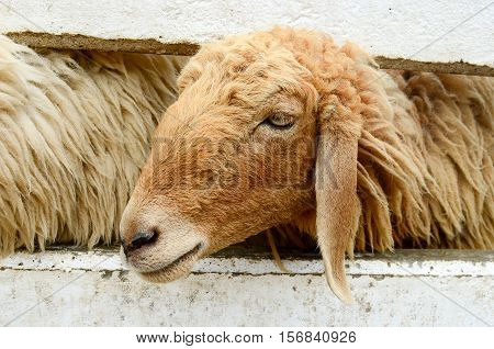 Light brown sheep in a sheep farm