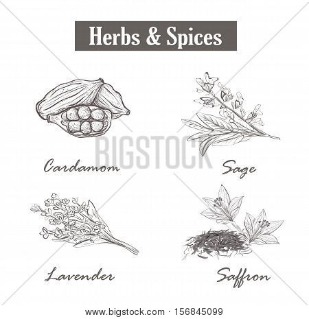Herbs and spices. saffron, sage, lavender, cardamom. vector. Set sketch style herbs and spices