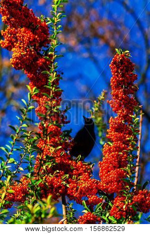Starling eats juicy fruits of sea buckthorn in the late autumn. Photographed in the park.