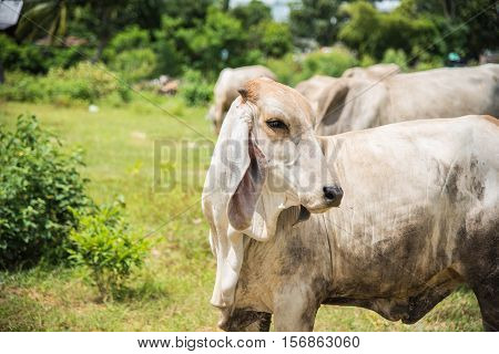 Cow in country,cows on meadow in Thailand