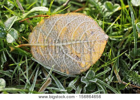close photo of fallen round yellow leaf covered with hoarfrost in the grass in cold autumn