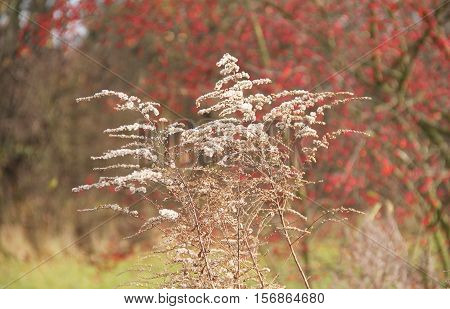 some sear plants of european goldenrod (Solidago virgaurea) and blurred red bush at the background in autumn
