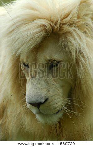 White Lion Predator