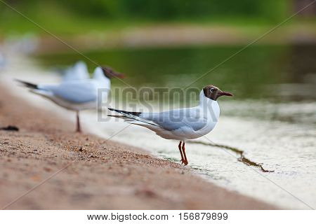Black-headed Gulls (chroicocephalus Ridibundus)