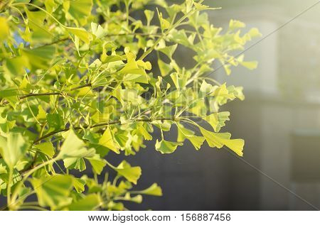 Ginkgo biloba young green leaves on a tree. Wellness healing plant, symbol of health and longevity.