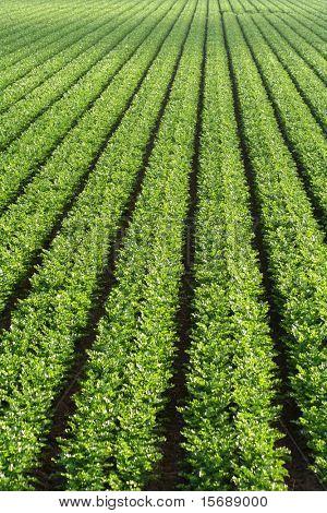 Green leaf lettuce fields