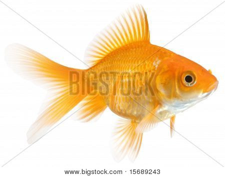 Single Goldfish