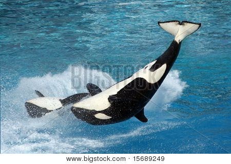 Two killer whales flipping in the water