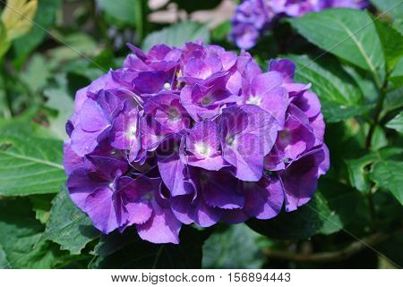 Blooming purple hortensia flowers blossoms in bloom.