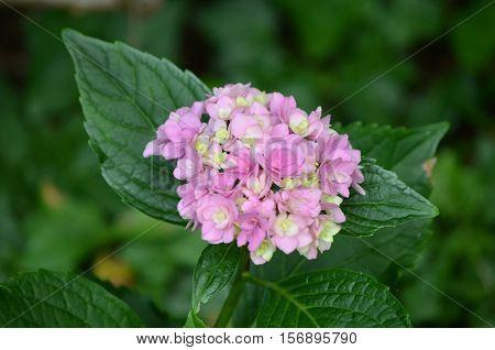Flowering light pink hydrangea flower blossom in bloom.