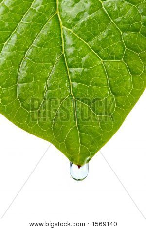 Damp Leaf With Drop Of Water