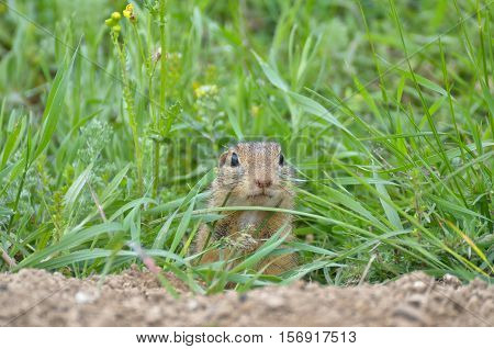 Cute European ground squirrel (Spermophilus citellus Ziesel Gopher) hiding in the grass