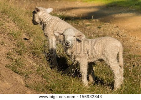 closeup of two little lambs grazing on slope