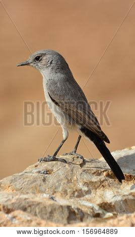 Grey hypocolius or simply hypocolius is a small passerine bird species.This slender and long tailed bird is found in the semi-desert region of northern Africa, Arabia, Afghanistan, Pakistan, and India