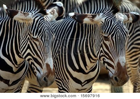 close-up of two zebras standing together