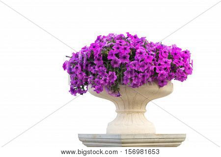 Vase of pink petunia flowers isolated on white background.