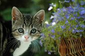 stock photo of lobelia  - Small kitten with blue Lobelia - JPG