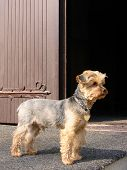stock photo of rabies  - Yorkshire terrier on guard at the door
