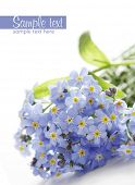 stock photo of forget me not  - blue forget - JPG