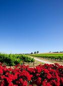 Постер, плакат: Виноградник и красные цветы в долине Баросса