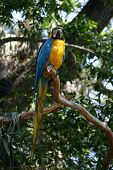foto of polly  - Large gold and blue macaw standing in the trees  - JPG