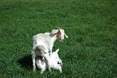 Twins Goats Nursing