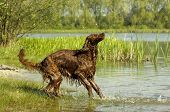 picture of english setter  - english red setter is playing at the beach - JPG