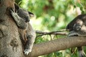 Koala Bear sleeping in a tree with another in the background