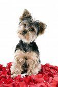 image of yorkie  - Adorable Yorkie puppy in rose petals - JPG
