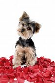 picture of yorkie  - Adorable Yorkie puppy in rose petals - JPG