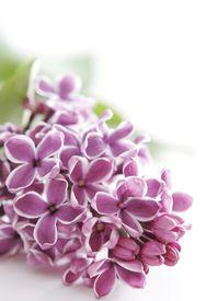 image of violet flower  - violet flowers of lilac - JPG