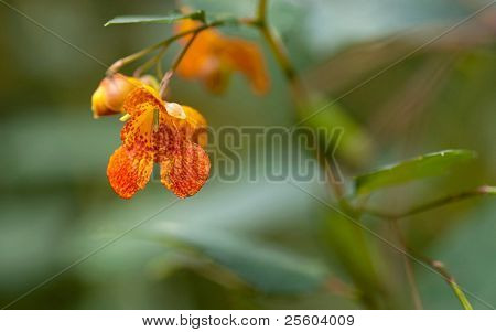 Orange Spotted Jewelweed