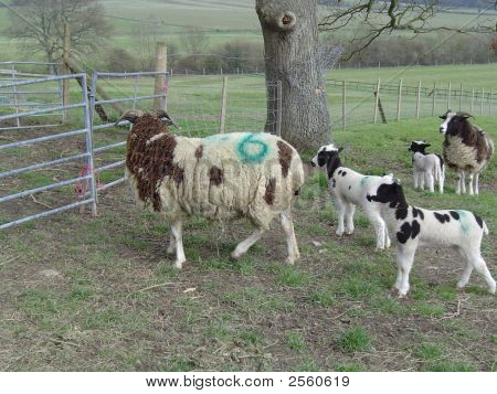 Jacob's Sheep with Lambs. Springtime.