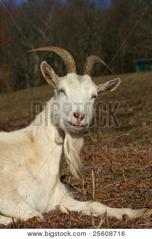 wise goat meditating