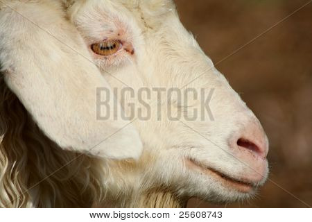 close up portrait of sheep