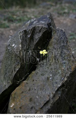 tiny yellow flower growing out of a crack in a rock