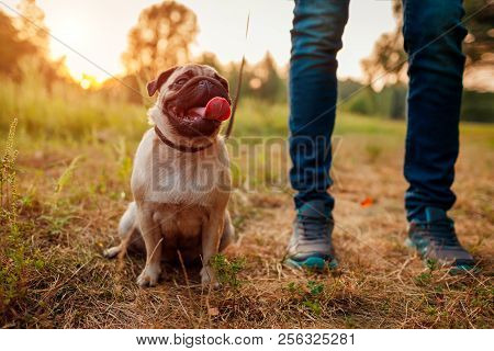 poster of Master Walking Pug Dog In Autumn Forest. Happy Puppy Sitting On Grass By Man's Legs. Dog Resting