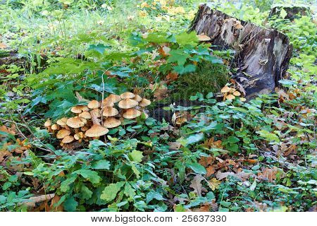 agaric honey fungus near stump in forest