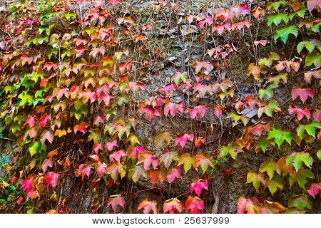 Ivy Leaves In Autumn.