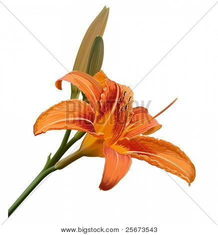 vector lily flower isolated on white background