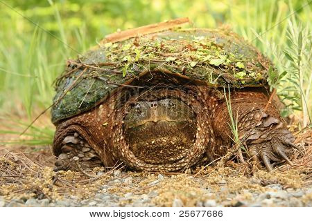 Snapping Turtle with Debris on Shell