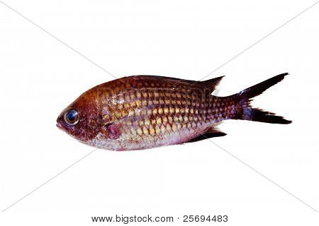 Chromis chromis Damselfish rock fish isolated on white