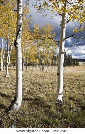 Birches Forest