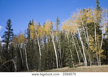 Birches Forest (Ac)