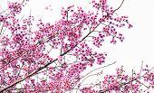 Beautiful Cherry Blossom Sakura  (prunus Cesacoides) Isolated On White Background. Pink Cherry Bloss poster